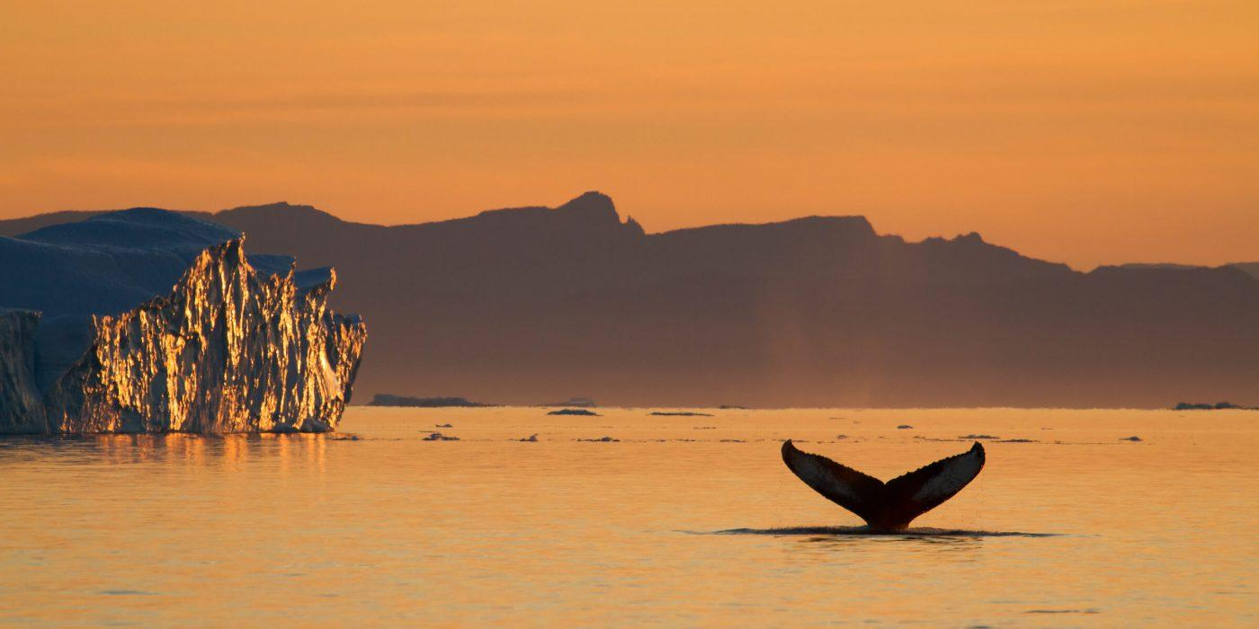 Humpback whale under the midnight sun. Photo by Julie Skotte, Visit Greenland