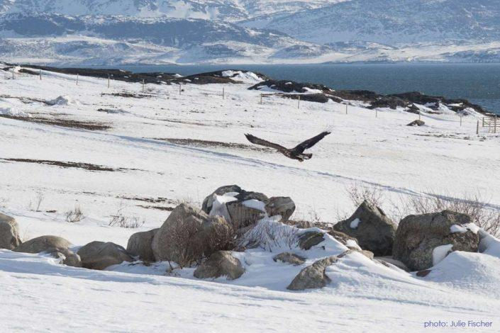 Eagle flying by Ipiutaq Guest Farm in Winter. Photo by Julie Fischer