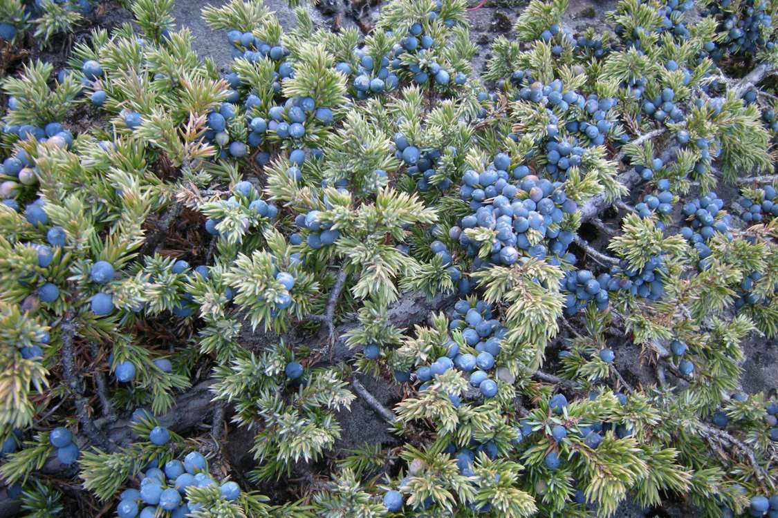 Arctic blueberries at Ipiutaq Guest Farm in South Greenland. Photo by Agathe Devisme