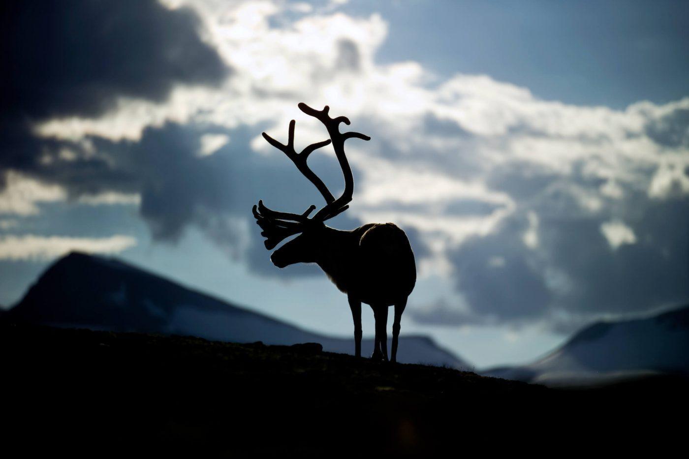 Reindeer in silhouette