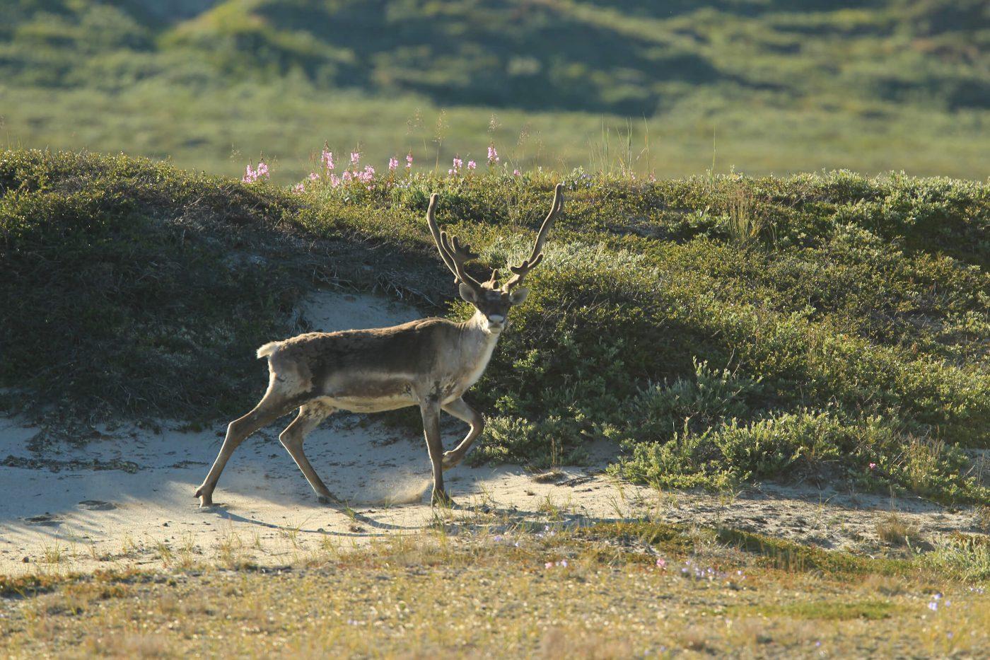 Reindeer on the beach in summer, by Klaus Eskildsen