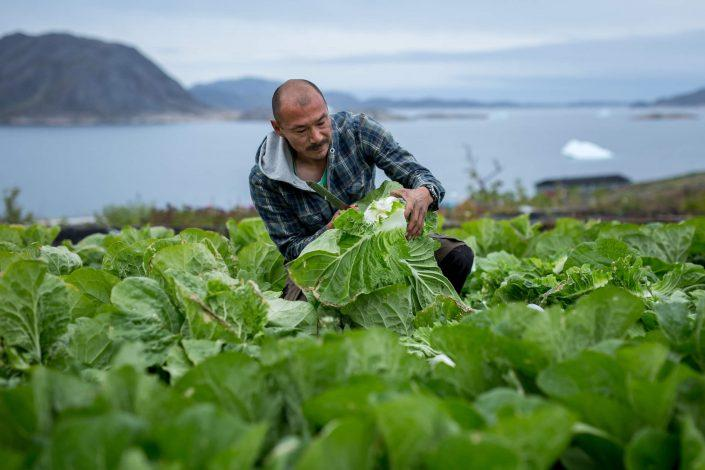 The 2015 lettuce harvest at Upernaviarsuk in South Greenland. Photo by Mads Pihl
