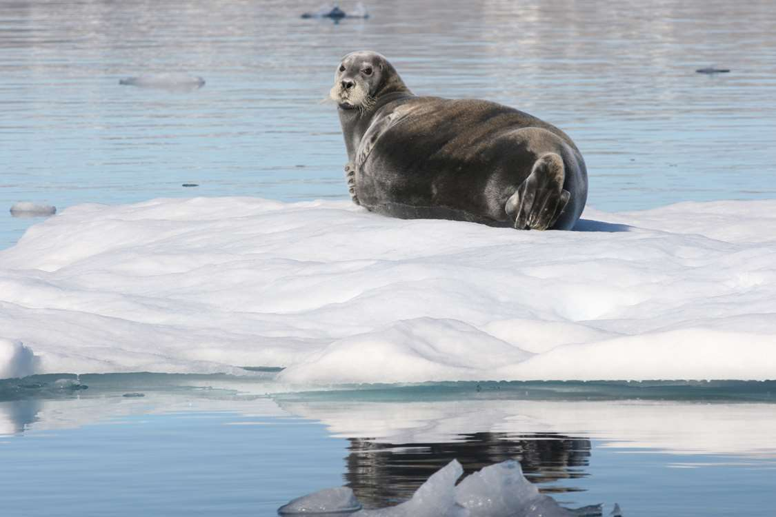 A seal resting and enjoying the sun. Photo by Arctic Dream, Visit Greenland