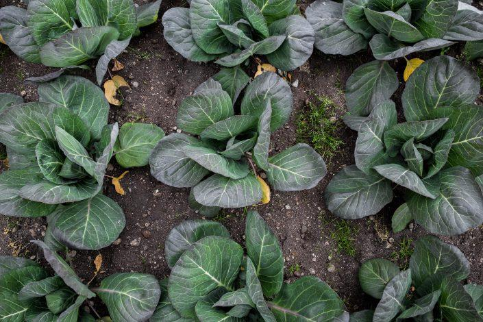Vegetables at the Upernaviarsuk horticulture research station in South Greenland. Phioto by Mads Pihl