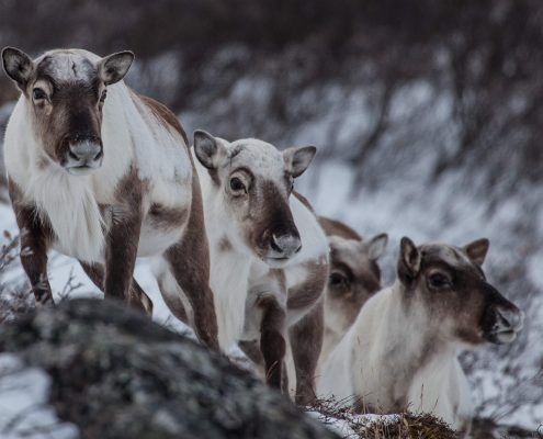 Reindeer in winter colors in Greenland