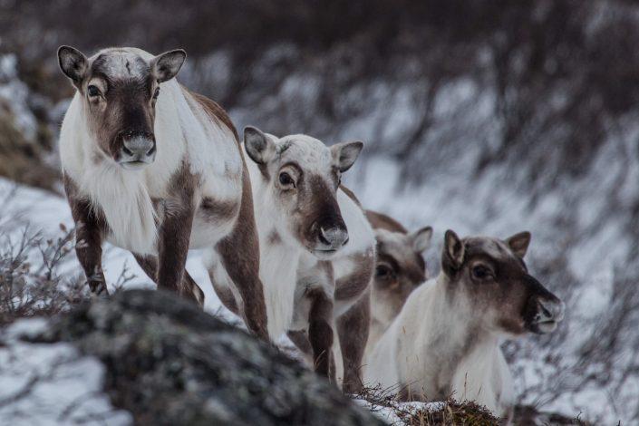 Reindeer in winter colors in Greenland