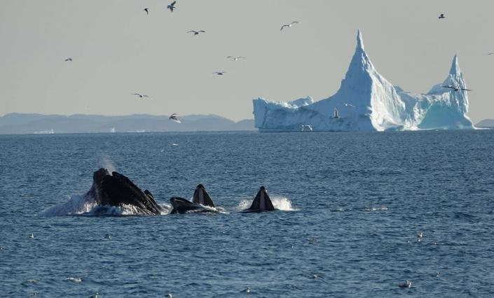 A group of whales swimming close to a large iceberg. Photo by Espen Andersen, Visit Greenland