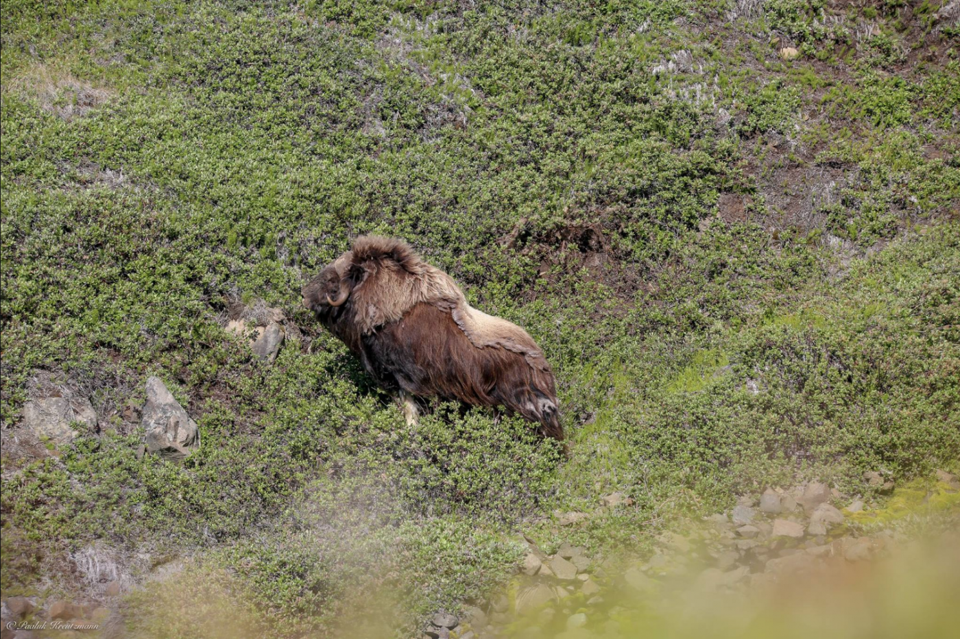 Muskox walking on a vegetated mountain. Photo by Uummannaq Seasafaris ApS, Visit Greenland