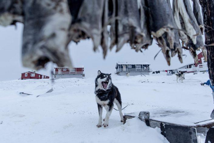 A barking sled dog in Oqaatsut, Greenland. Photo by Mads Pihl.