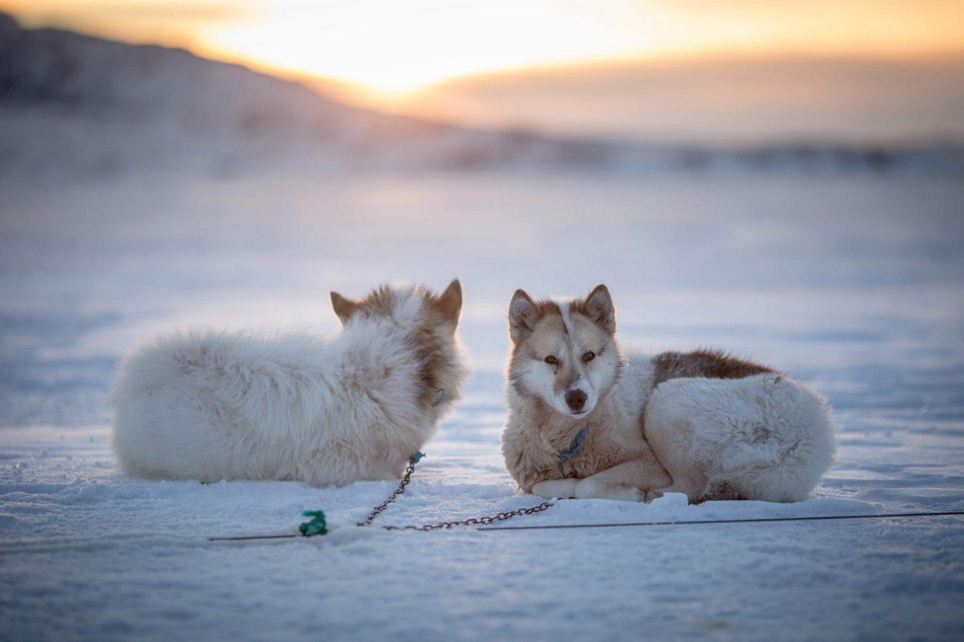 Sled dogs in the sunset near Oqaatsut in Greenland. Photo by Mads Pihl.