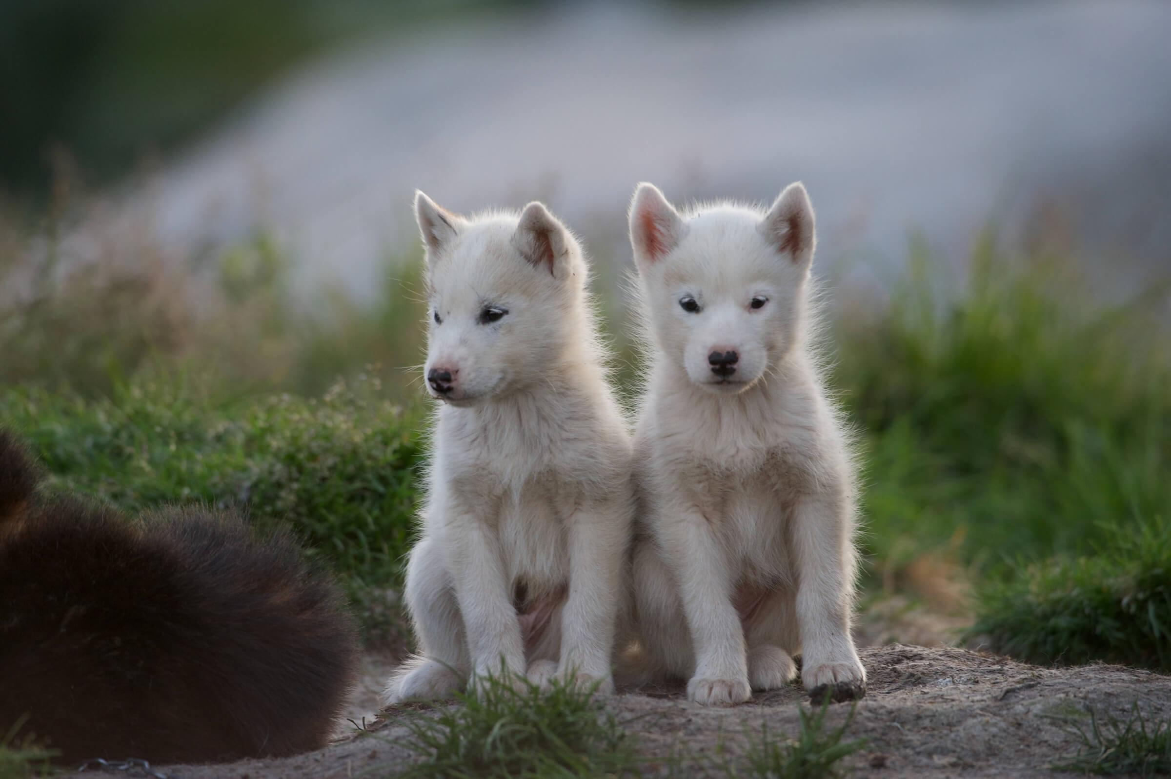 Two sled dog puppies in summer. Photo by David Buchmann.