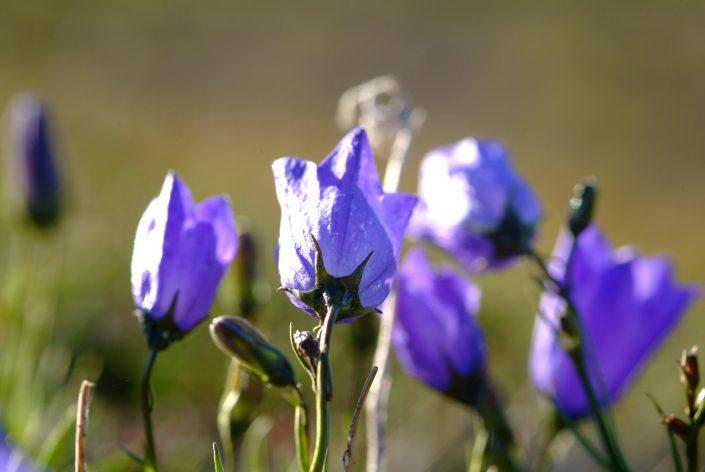 Purple flowers. By Visit Greenland