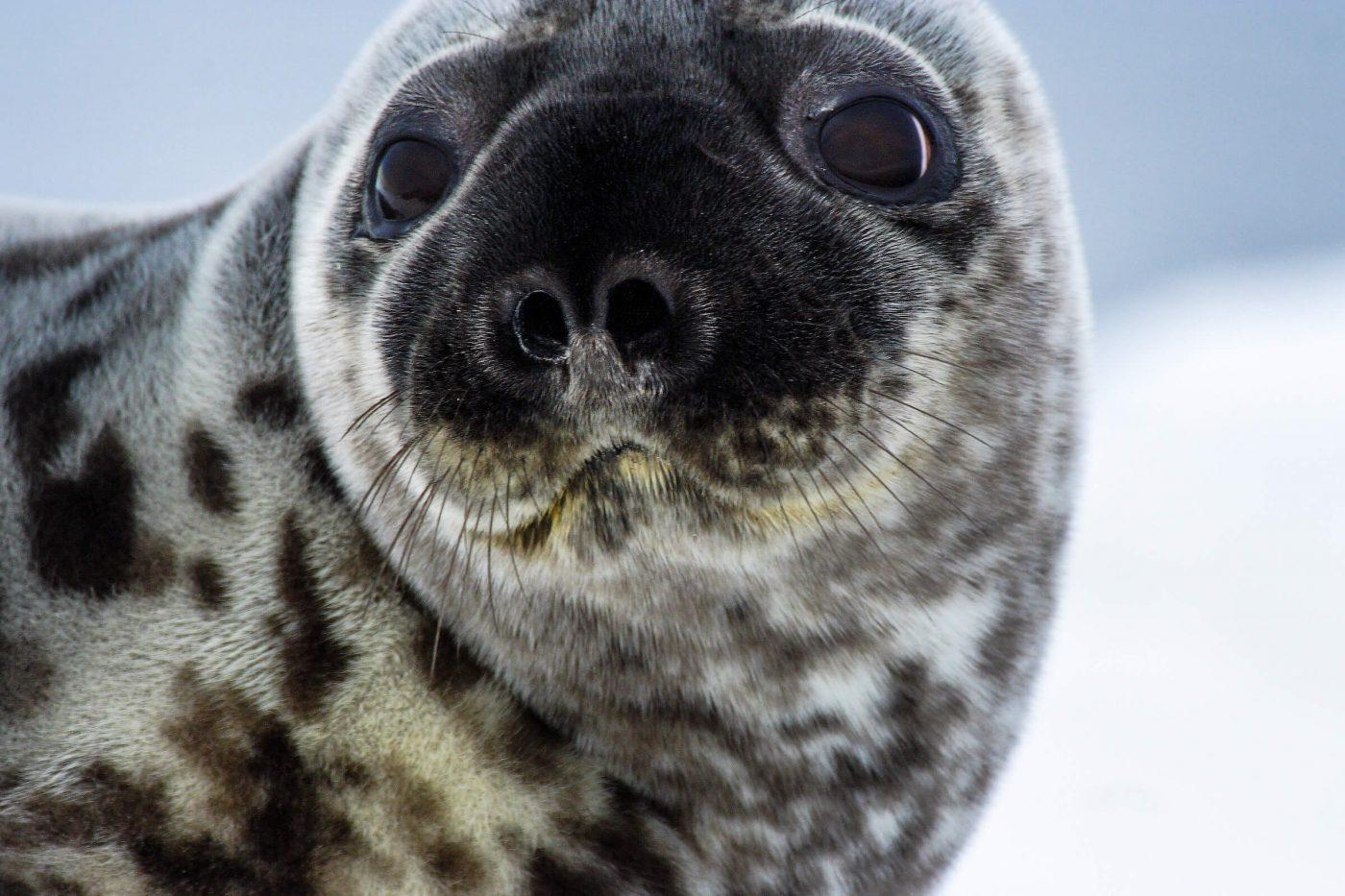 A close-up of a young hooded seal in Greenland. Photo by Aqqa Rosing Asvid
