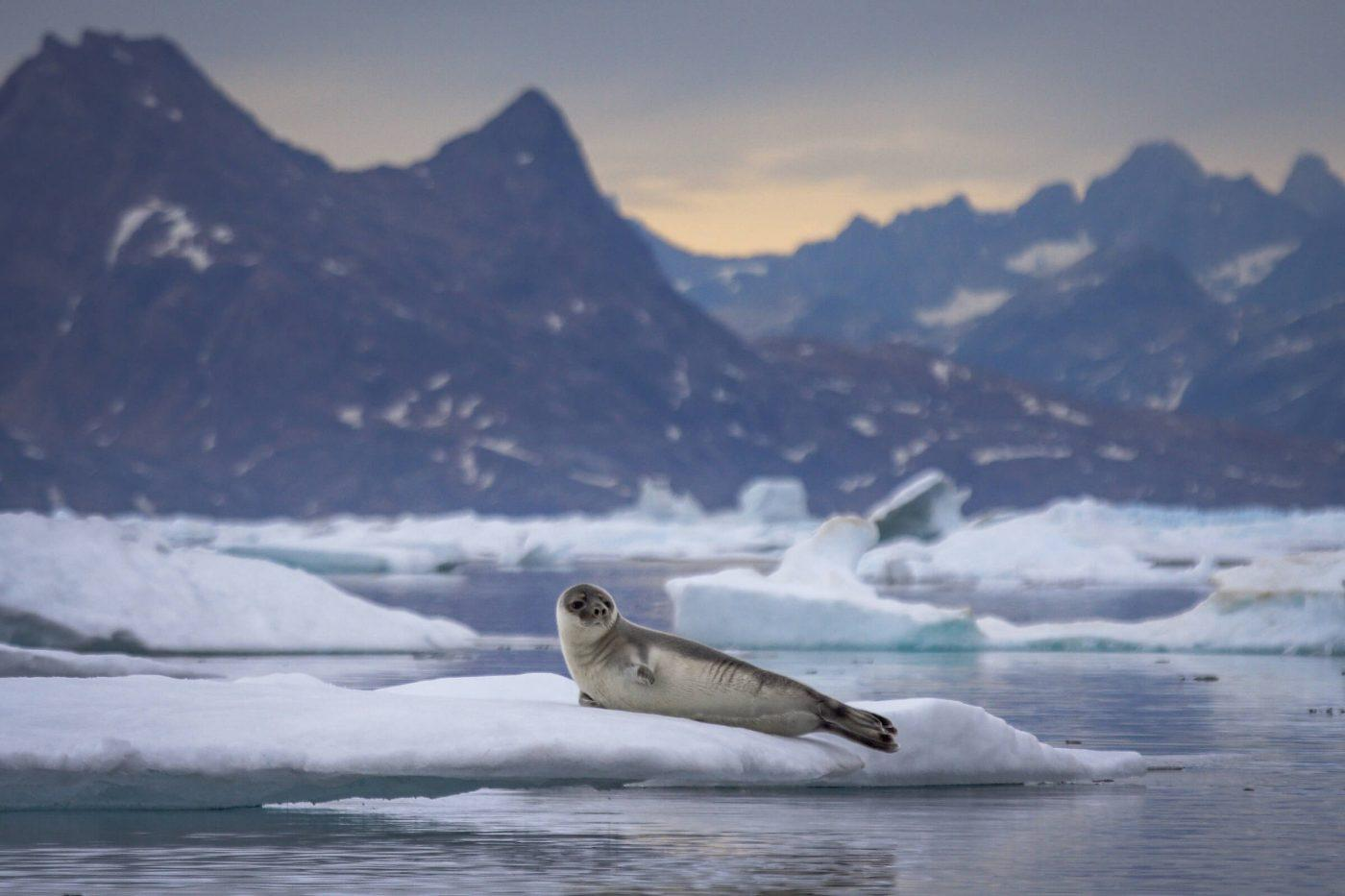 A hooded seal on an ice floe in East Greenland. Photo by Aqqa Rosing Asvid.