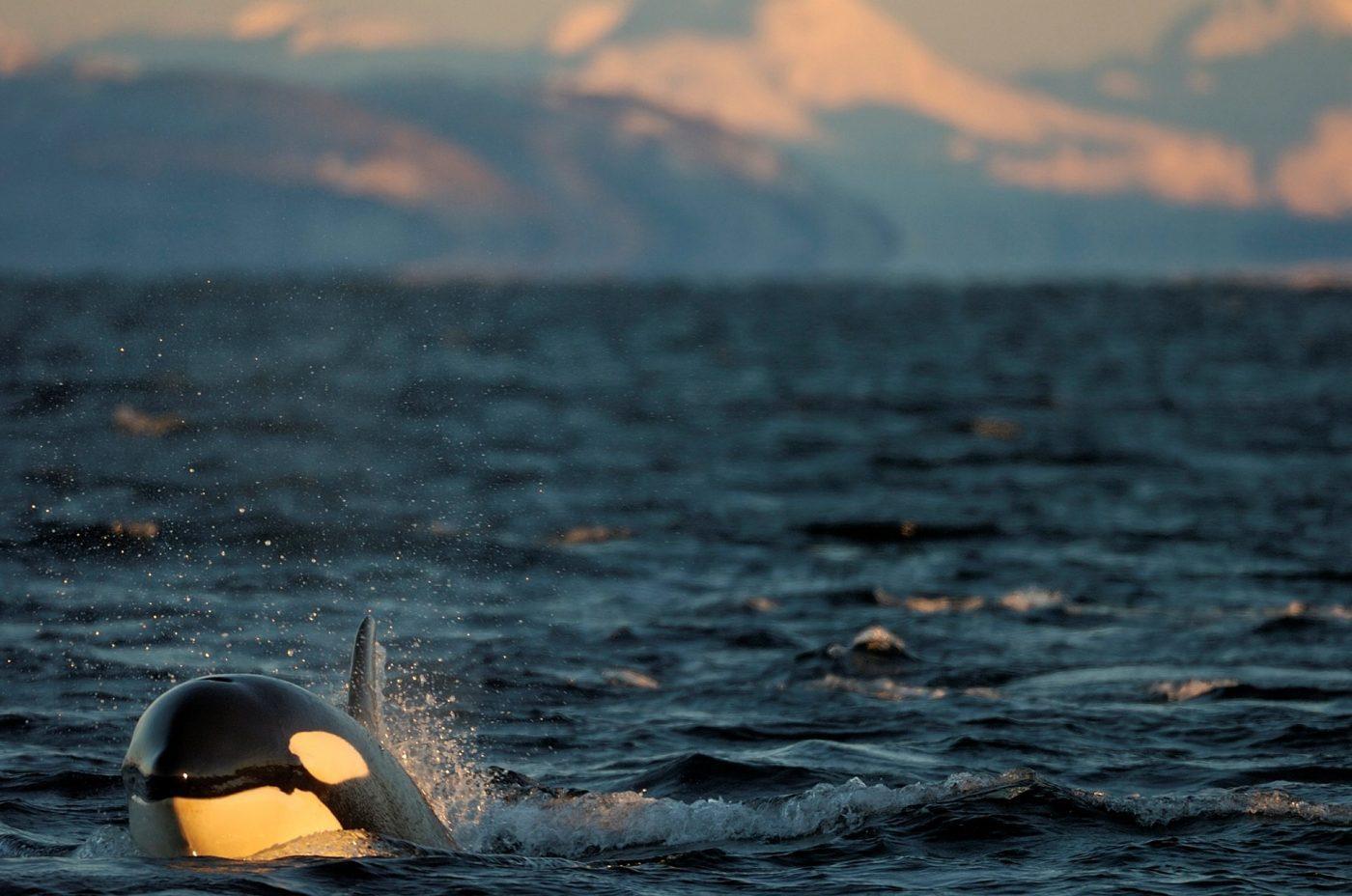 Killer whale. Photo by Magnus Elander.