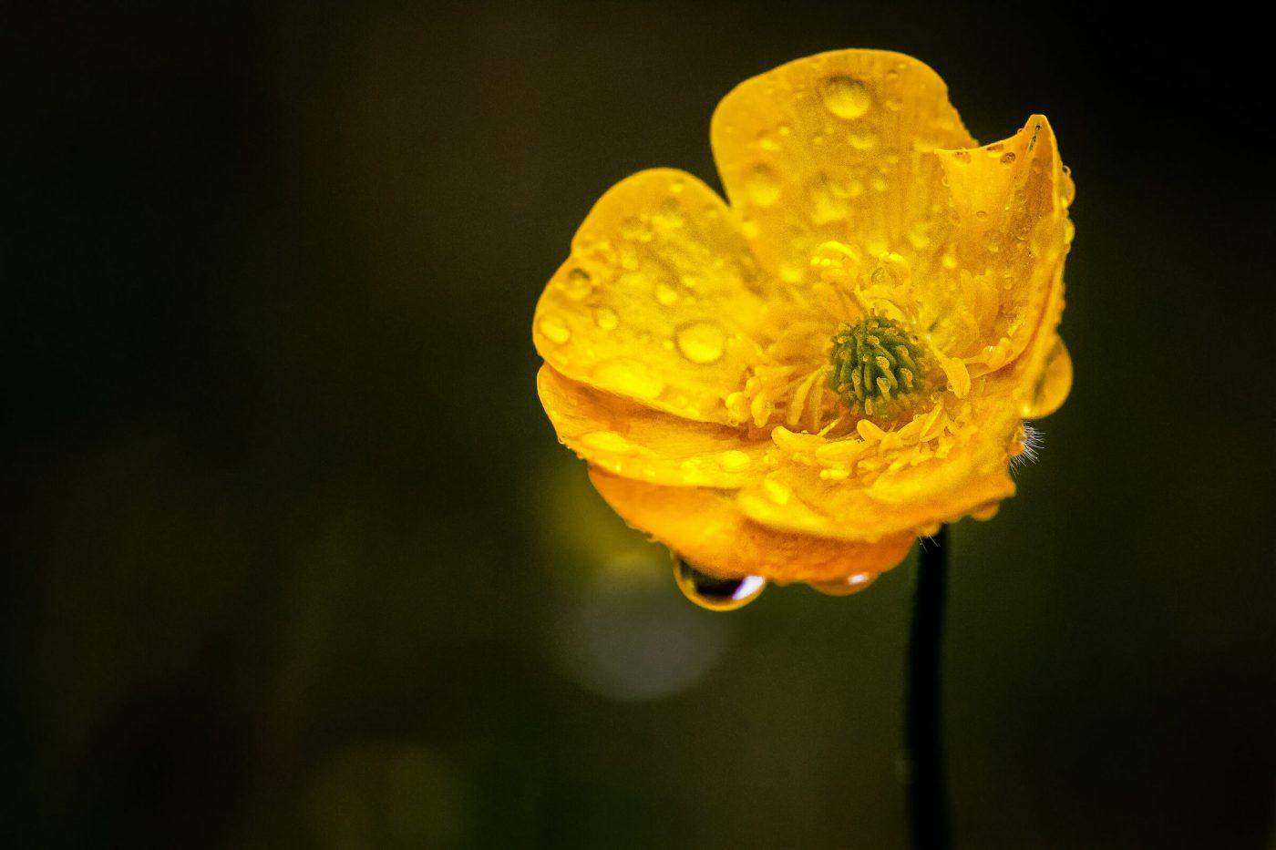 A flower full of fresh rainwater in South Greenland. Photo by Mads Pihl