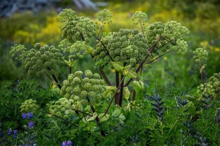 Angelica growing wild in the middle of Qaqortoq in South Greenland. Photo by Mads Pihl