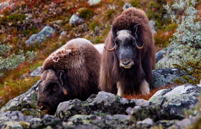 A pair of musk oxes. Photo by Per Harald Olsen