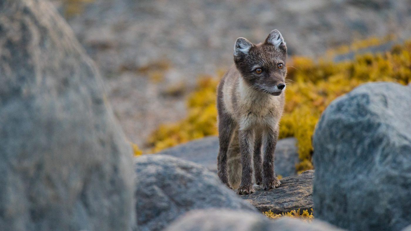 Greenland Arctic Fox. Photo by Keith Ladzinski