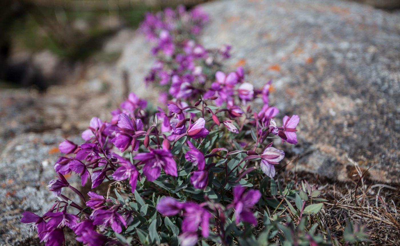 Flowers growing on a Greenlandic field. Photo by Olafur Rafnar Olafsson