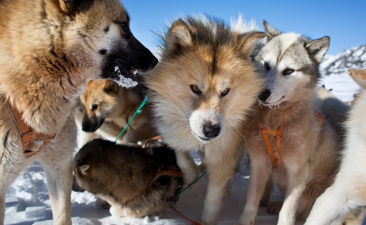Sled dogs getting curious. Photo by Lasse Bak Mejlvang