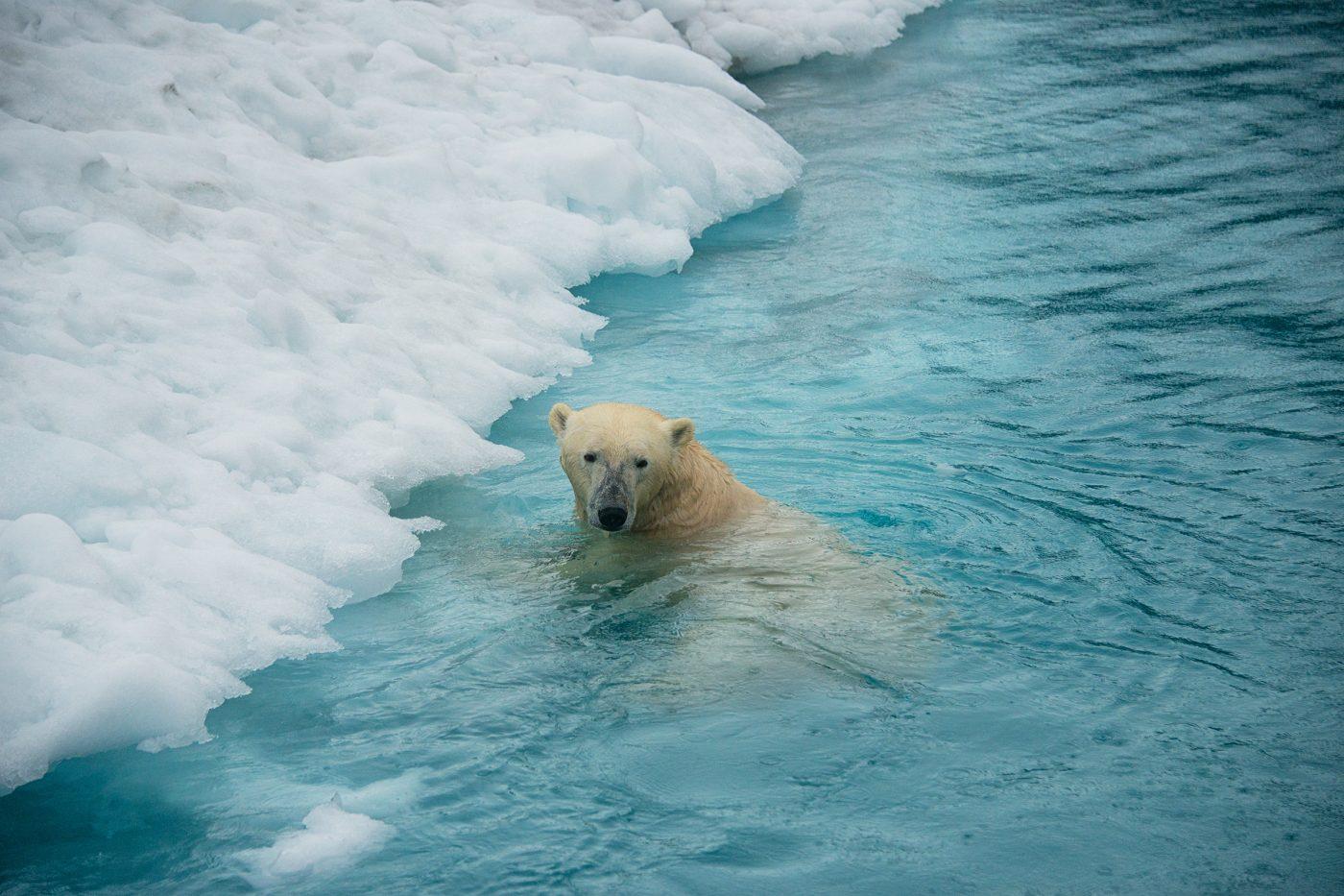 Swimming polar bear. Photo by Andy Mann
