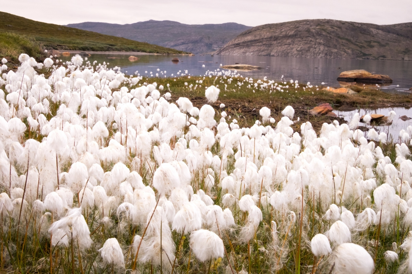 Arctic Cottongrass along the shore of Lake Amitsorsuaq between Katiffik Hut and Canoe Center - Day 2 of Arctic Circle Trail. Photo by Lisa Germany.