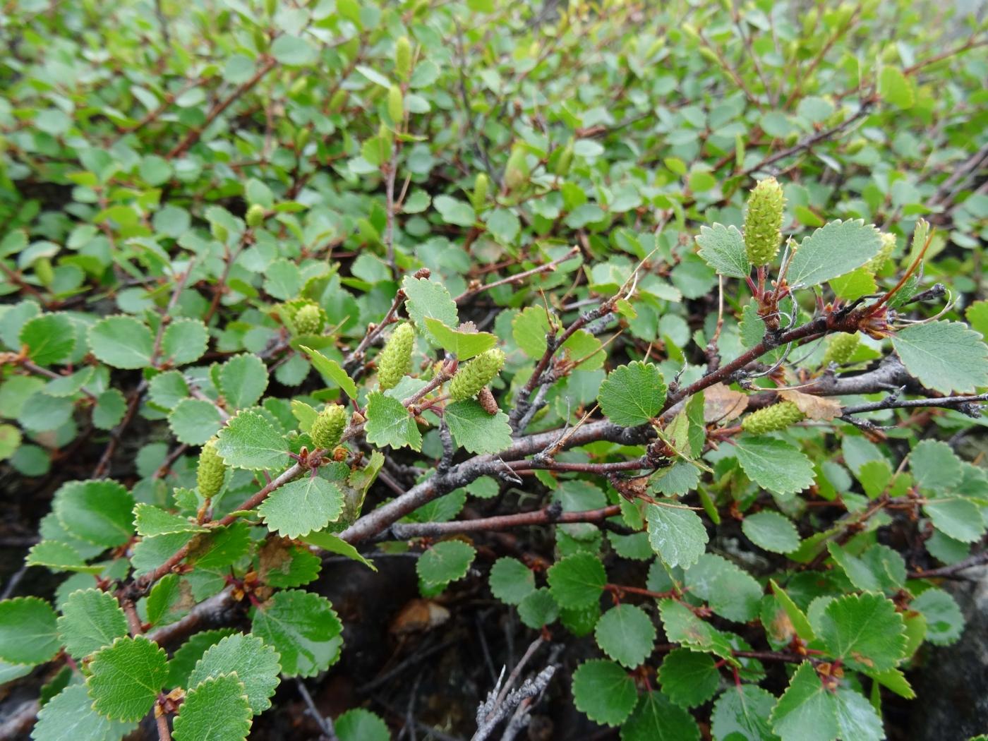 Downy birch - Orpik. Photo by Gitte L. Ottosen.