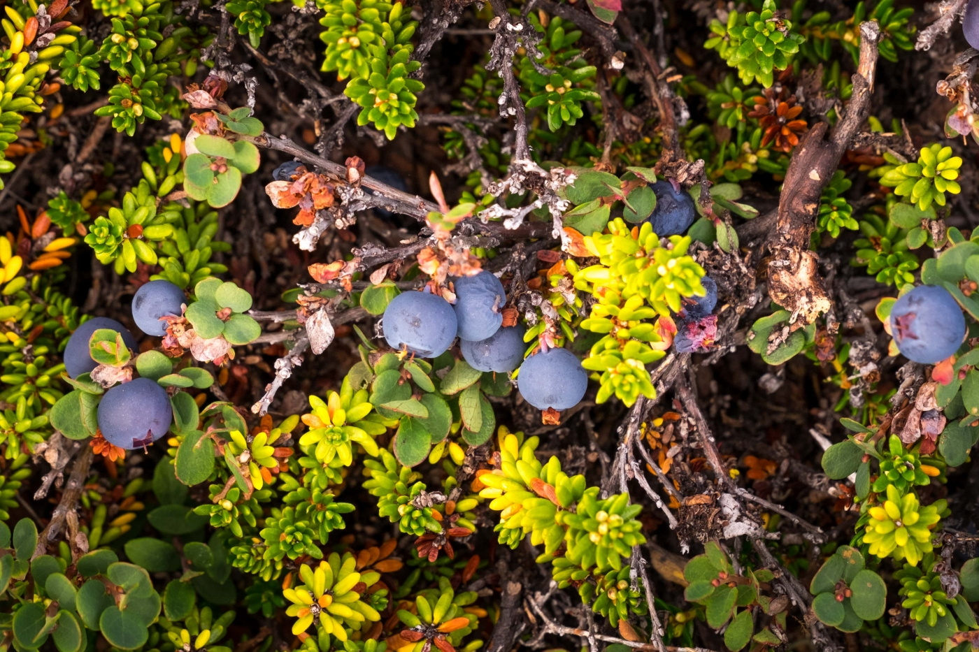 Greenland Flora - Bog Bilberry - Arctic Blueberry on Arctic Circle Trail. Photo by Lisa Germany.