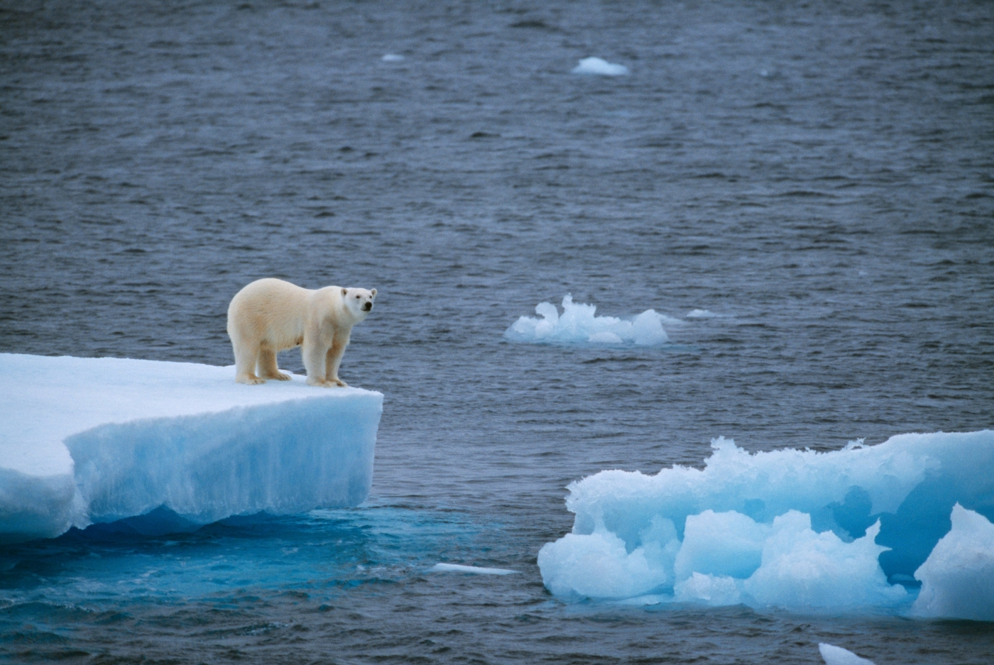 Polar bear on small iceberg. Photo by Staffan Widstrand - Visit Greenland.