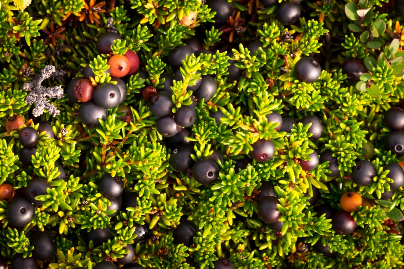Wild Crowberries along the Arctic Circle Trail. Photo by Lisa Germany.