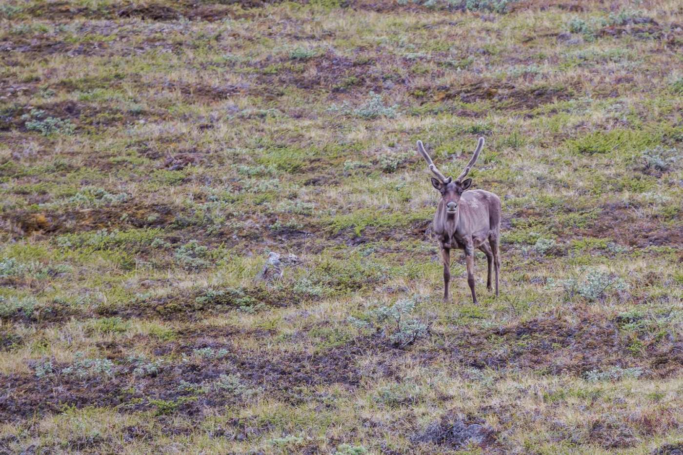 Young reindeer seen while hiking the Arctic Circle Trail.