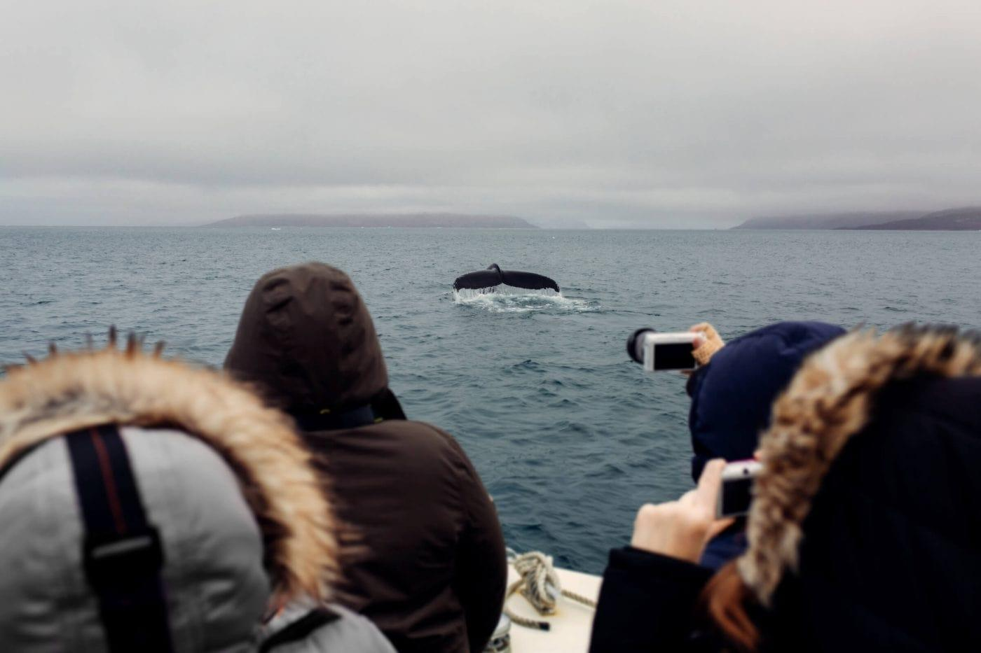 Group of tourist taking photos of a passing humpback whale in. Photo by Rebecca Gustafsson, Visit Greenland