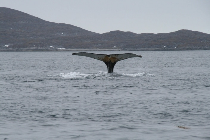 Whale tail in Nuup Kangerlua in summer. Photo by Nuuk Bay Adventures, Visit Greenland