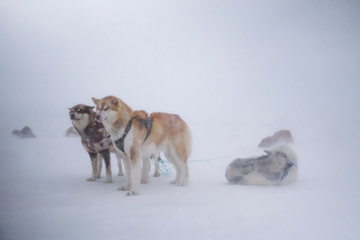 Dogs in Blizzard. Photo by Kim Insuk - Visit Greenland