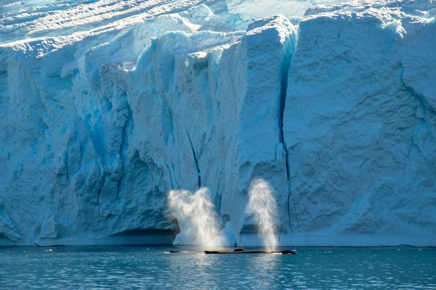 Whales in front of iceberg in Greenland. Photo by Guide to Greenland
