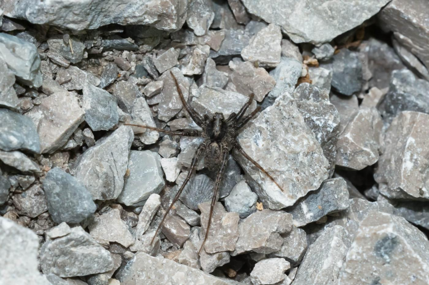 A Thin-legged Wolf Spider is resting on a gravel path_Photo by Paul Reeves Photography
