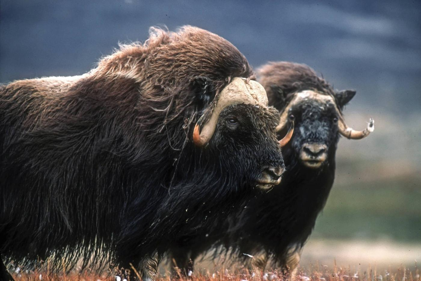 A pair of musk oxen in summer. Photo by Magnus Elander