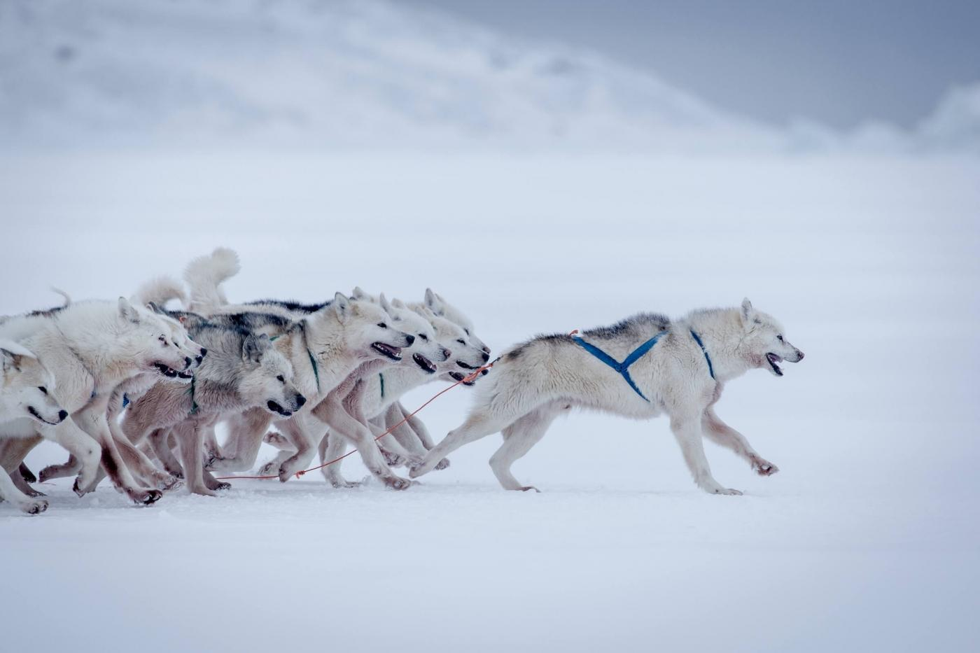 Sled dogs at full speed outside Oqaatsut in Greenland. Photo by Mads Pihl