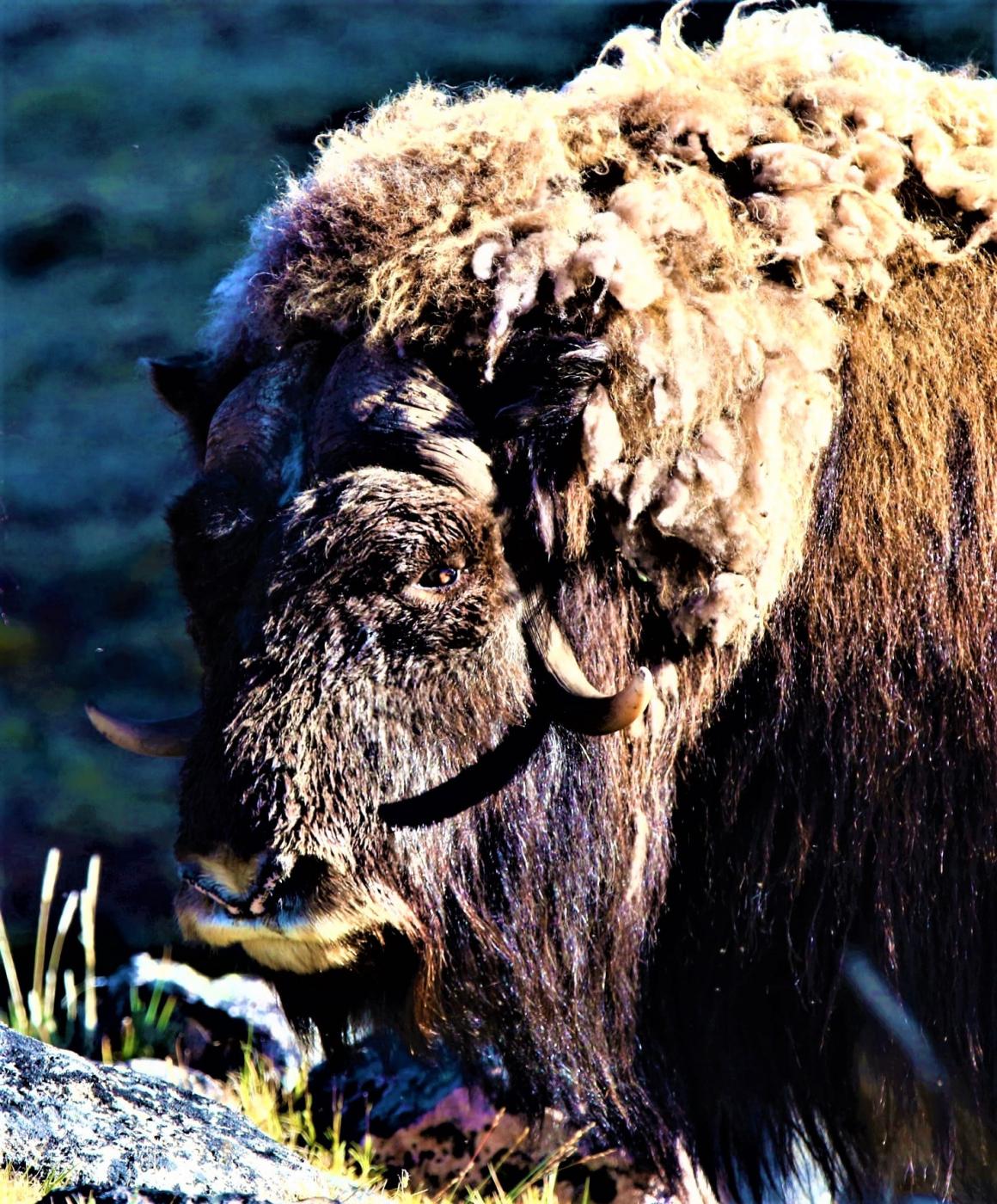 North Safari Travel - summer safari muskox