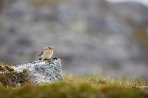 Bird Resting on Rock, Nuuk. Photo - Peter Lindstrom , Visit Greenland