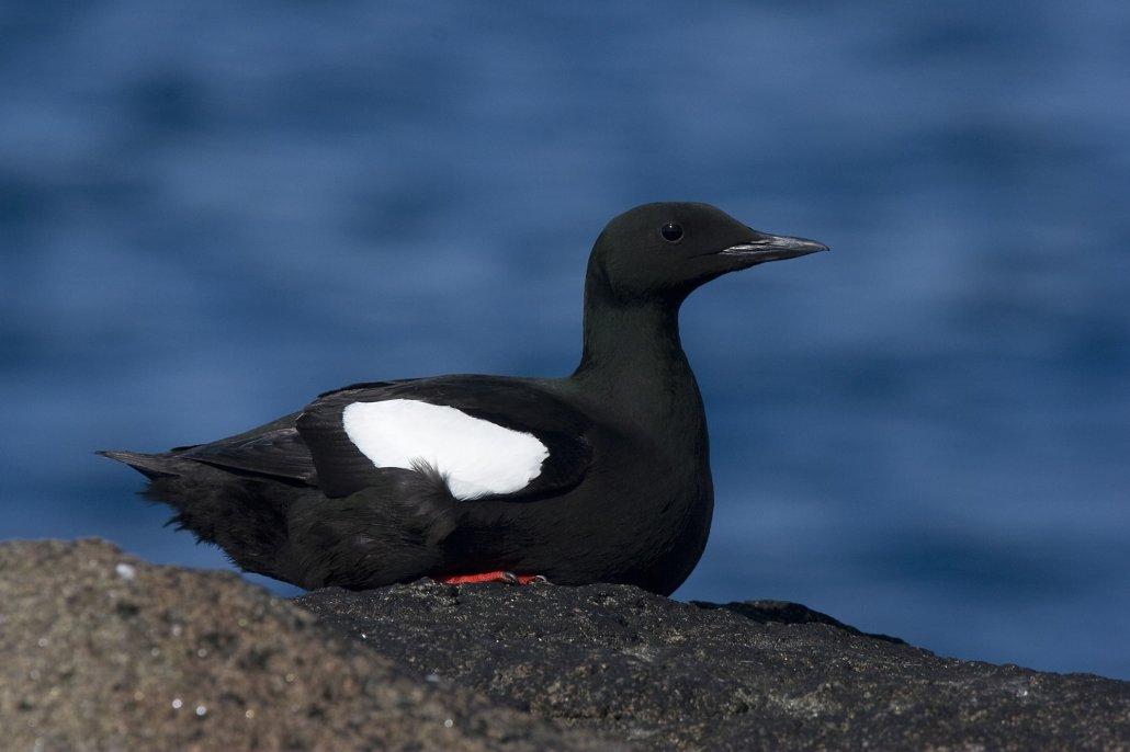 Black Guillemot -EN, Serfaq -KAL, Tejst -DA, Cepphus grylle -LAT. Photo by Carsten Egevang - Visit Greenland