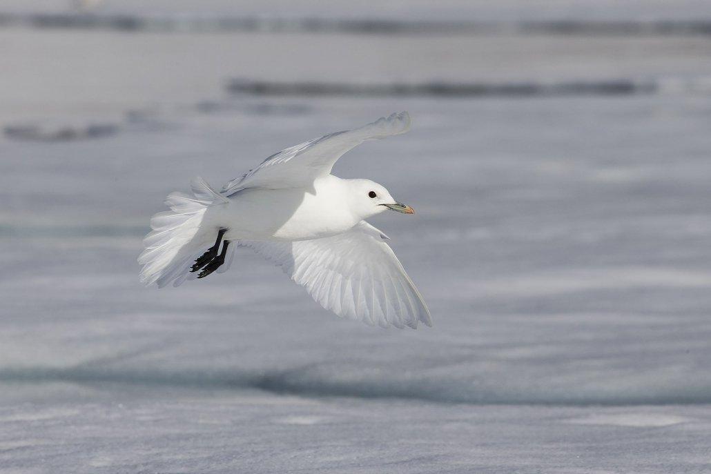 Ivory Gull -EN, Naajavaarsuk -KAL, Ismåge -DA, Pagophila eburnea -LAT. Photo by Carsten Egevang - Visit Greenland