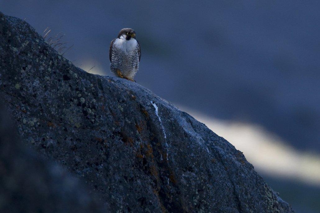 Peregrine Falcon -EN, Kiinnaaleeraq -KAL, Vandrefalk -DA, Falco peregrinus -LAT. Photo by Carsten Egevang - Visit Greenland