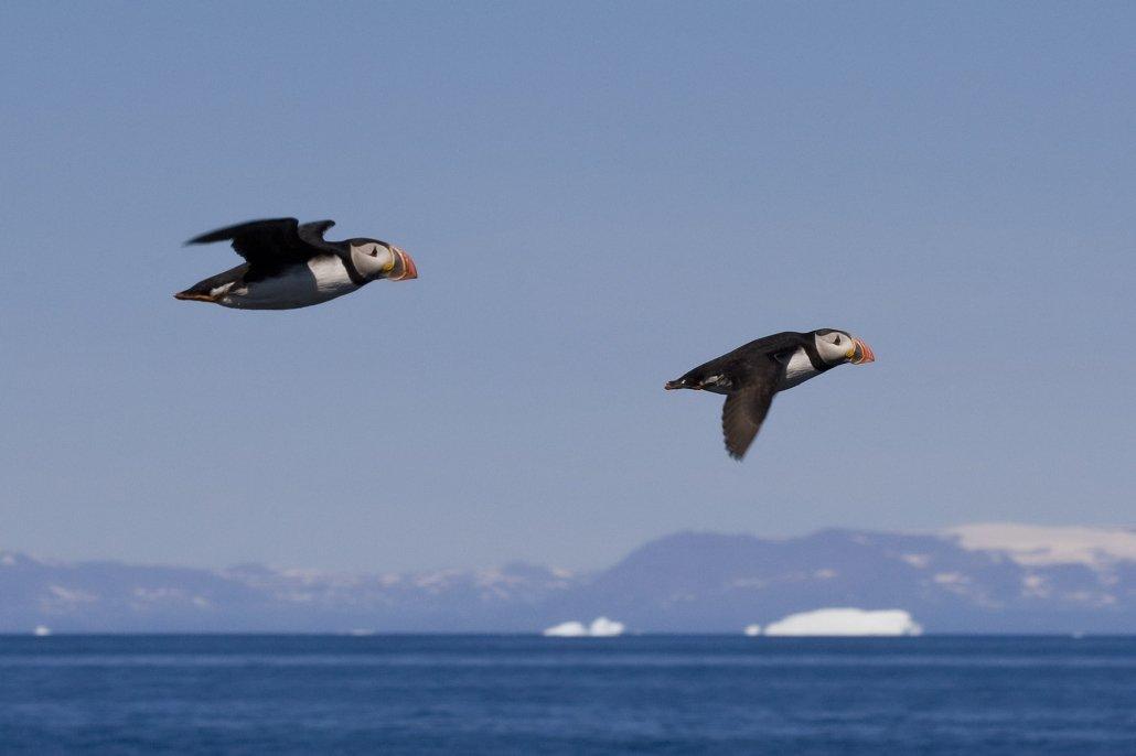Puffin -EN, Qilanngaq -KAL, Lunde -DA, Fratercula arctica -LAT. Photo by Carsten Egevang - Visit Greenland