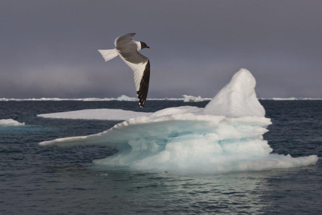 Sabine's Gull -EN, Taateraarnaq -KAL, Sabinemåge -DA, Xema sabini -LAT. Photo by Carsten Egevang - Visit Greenland