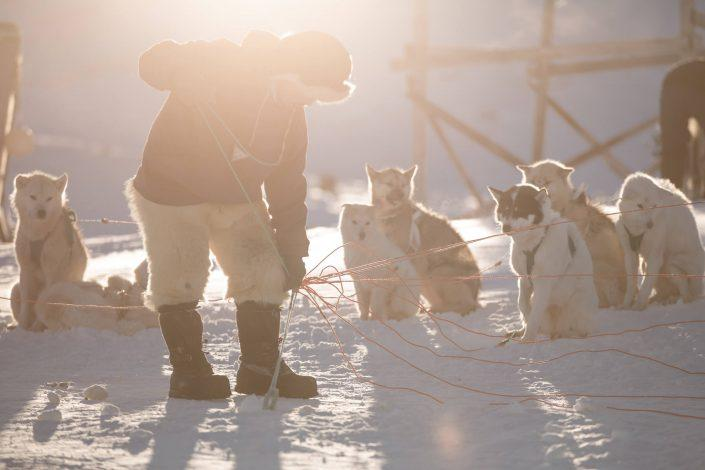 A dog musher preparing his sled dogs for a trip in Ilulissat in Greenland