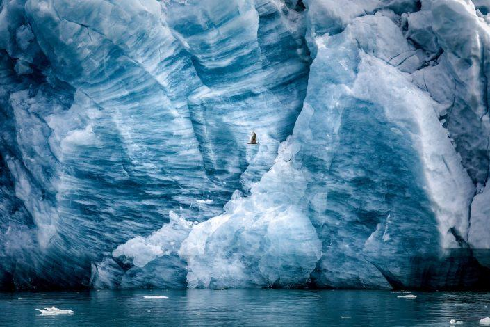 A seagull by a glacier wall in the Eternity Fjord in Greenland near Kangaamiut. Photo by Mads Pihl