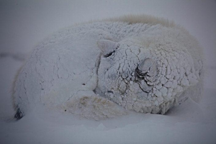 A sled dog from Ilulissat in Greenland covered in a fresh blanket of snow during a blizzard. Photo by David Trood