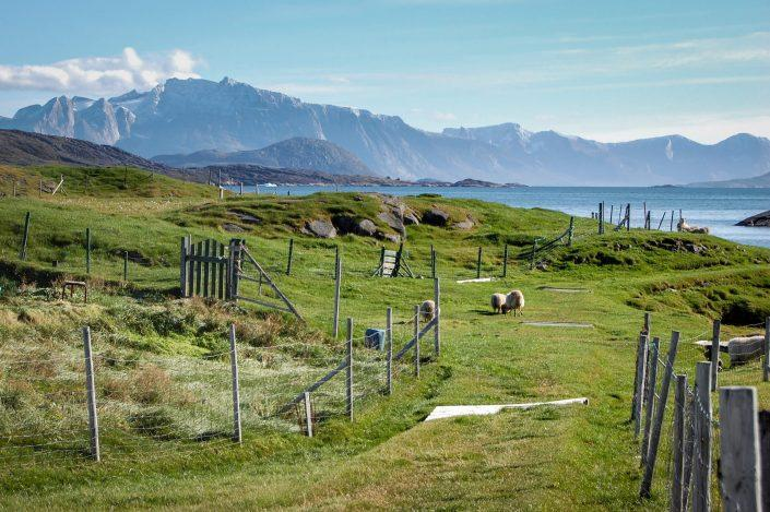 A typical sheep farm landscape in South Greenland. By Franziska Mahler